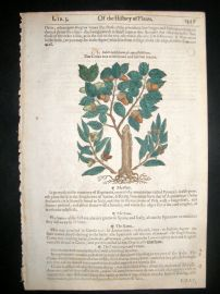 Gerards Herbal 1633 Hand Col Botanical Print. Cork Tree, Great Gall Tree